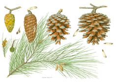 https://flic.kr/p/RdrCeA   Pinus halepensis 1   Watercolour on Fabriano artistico paper (24 x 20 cm).