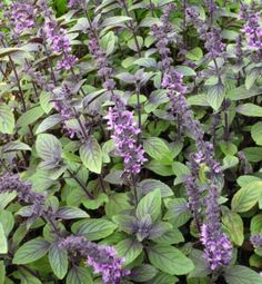 African Blue Basil (Ocimum kilimandscharicum × basilicum 'Dark Opal') - for the color, foliage, and scent