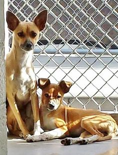 SAFE --- These babies are sticking close to each other and the little one will try to climb all over her big sister to feel safe. Please take a look at these beautiful scared babies and SHARE, they need some help. Thanks!  #A4778781 I'm an approximately 2 year old female chihuahua sh. #A4778782 I'm an approximately 6 month old female chihuahua sh.  https://www.facebook.com/171850219654287/photos/pb.171850219654287.-2207520000.1417039395./335405059965468/?type=3&theater