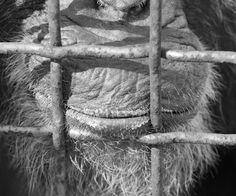 (Pin) Many of you know that I photograph a remarkable group of chimps that live at the Fauna Foundation outside Montreal. These eleven extraordinary animals, most of whom have endured horrendous atrocities during their many years in research cages, now live their lives with dignity, choice, companionship and love. It has been a year since I met these creatures and it has certainly changed me. They are intelligent, creative, inquisitive, funny, sensitive beings. (And the folks who care for…