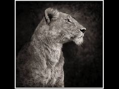 Lion and lioness quotes lifemerry go round pinterest nick brandt portrait of lioness against rock serengeti 2007 fandeluxe Choice Image