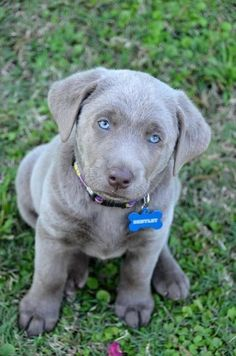 What You Wish You Knew About Silver Labrador Retriever. Are Silver Labs Purebred? What about Silver Lab Puppies? or even Blue Labradors? Read on. Cute Dogs And Puppies, I Love Dogs, Beautiful Dogs, Animals Beautiful, Silver Lab Puppies, Most Popular Dog Breeds, Tier Fotos, Labrador Retriever Dog, Cute Baby Animals