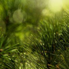 Superspecyfik na kaszel i przeziębienie? Syrop z sosny! Dandelion, Herbs, Plants, Dandelions, Herb, Plant, Taraxacum Officinale, Planets, Medicinal Plants