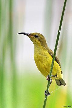 Olive Backed Sunbird ,female