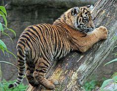 sumatraanse tijger Burgerszoo | Flickr - Photo Sharing!