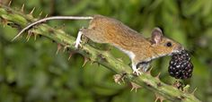 Wood mouse eating his blackberry while balancing on a thorny branch. Photographer Gary Cox impressed the judges by showing this common mammal in an intimate way (came in third) ~