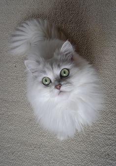 white cats | White Persian Cat | Beautiful Iran