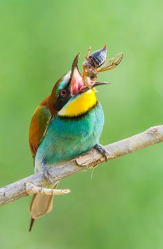Merops apiaster - European bee eater