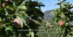 VISITING THE ORCHARD DURING AUTUMN'S APPLE FESTIVAL  -----  Apple Festival Farmhouse | Learning By Kids | LearningByKids.com
