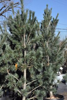 100 Pinus Flexilis Vanderwolf S Pyramid Slow Grower 20