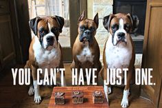 Boxer dogs are the best!