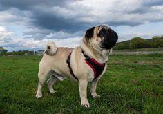 Let's go home human! It's gonna rain soon! 😳☂🌪⛈  #mauricethepug #rain #spring #rainyday #worried #meteorologist #forecast #purplerain #pug #mops #dog #puppy