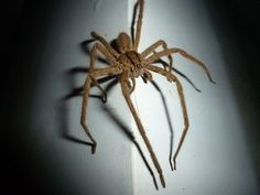 Free photo: Spider, Wolf Spider, Insect - Free Image on Pixabay - 1937390 Free Pictures, Free Photos, Free Images, Cool Pictures, Australian Spider, Spider Eating, Wolf Spider, Ap Art, Cool Wallpaper
