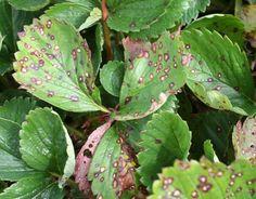 Eper, szamóca betegségek - gazigazito.hu Organic Gardening, Gardening Tips, Hydroponic Strawberries, Hydroponics, Agriculture, Plant Leaves, Plant