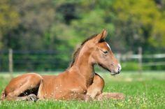Colt (showjumping horse)