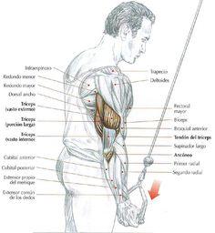 Extensión de los codos en polea alta con manos en supinación