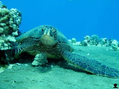 Honu Chillin: Hawaii Green Sea Turtle