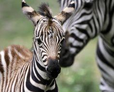 baby zebra - Pesquisa Google