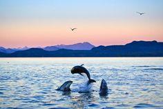 Photo:  Pacific White Sided Dolphin Antics Sunset Johnstone Strait British Columbia