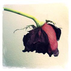 Drying Rose