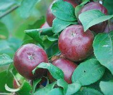 Fruit Trees For Sale, Apple Fruit, Exotic Fruit, Allotment, Apple Tree, Plants, Color, Apple, Colour