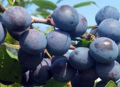 Blueberry, Diet, Fruit, Mai, Health, Medicine, Berry, Health Care, Banting