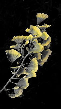 araknesharem: Ginko on black Maidenhair Tree, Galaxy Phone Wallpaper, 6th Grade Art, Plant Illustration, Leaf Art, Garden Inspiration, Flower Art, Plant Leaves, Nature