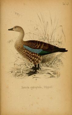 Systematische Uebersicht der Vögel Nord-Ost-Afrika's :. Frankfurt A.M. :In Commission der S. Schmerber'schen Buchhandlung (nachfolger H. Keller),1845