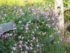 Clematis triternata 'Rubromarginata' is the mouthful of a name for the lovely little violet and white species