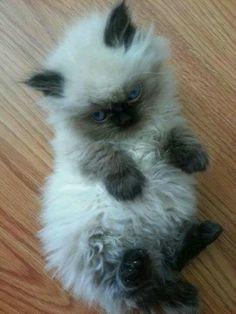 Ragdoll kitten                                                                                                                                                                                 More