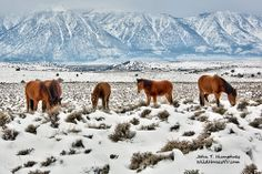 Wild horses in the Pinenuts of Carson Valley, NV
