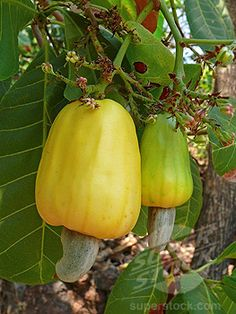 Cashew Apples. Did you know that cashews come from a fruit? :D