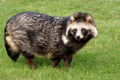 This is a Raccoon Dog, aka the coolest thing I have ever seen. They're a breed of canine native to Siberia that is pretty widely hunted for their fur. I think I'm going to rescue them all and hide them in my dorm room. Who's in?