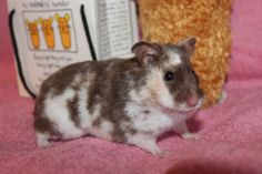 Syrian Hamster - Chocolate Tortoiseshell and white Dominant Spot | Phoenix Ashes Hamstery - Syrian Hamster Colors and Coats