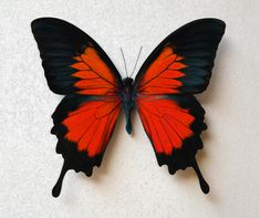 Papillio Ulysses Colorful Butterfly in Wild Red Variations, Bright, Vivid on Gallery Quality Canvas Butterfly Drawing, Red Butterfly, Butterfly Canvas, Primary And Secondary Colors, Butterfly Pictures, Canvas Artwork, Beautiful Butterflies, Painted Rocks, Drawings