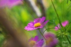 Magenta Flowers Chiang Mai, Thailand #fotobylinhping
