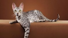 The Funniest Cat Moment - The first known Savannah cat was born April 1986 when a female domestic cat g… Serval Pet, Crazy Cat Lady, Crazy Cats, Savanna Cat, Cat Boarding, Maine Coon Cats, Animals And Pets, Cats And Kittens, Cutest Animals