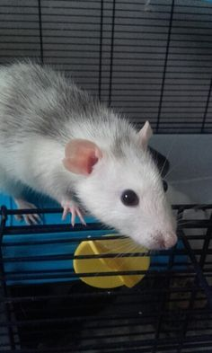 Rats awww
