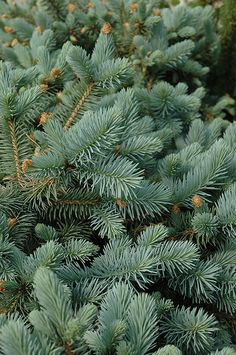 Lundeby's Dwarf Blue Spruce (Picea pungens 'Lundeby's Dwarf') at Millcreek Nursery Ltd