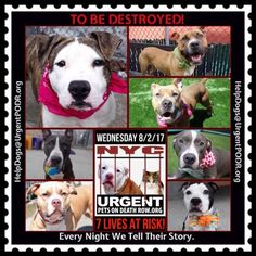 TO BE DESTROYED 08/02/17 - - Info   To rescue a Death Row Dog, Please read this:http://information.urgentpodr.org/adoption-info-and-list-of-rescues/  To view the full album, please click here:http://nycdogs.urgentpodr.org/tbd-dogs-page/ -  Click for info & Current Status: http://nycdogs.urgentpodr.org/to-be-destroyed-4915/