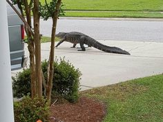 ht_south_carolina_alligator2_wg_150515_4x3_992.jpg (992×744)