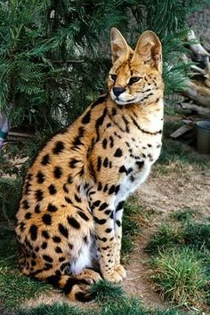 Savannah cat, they are beautiful, most have belly spots & rings around tail. But they come in many colors. #SavannahCat