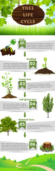Life Cycle of a Tree --shared by Treecare on Nov 29, 2014 in Home --The tree has also a life cycle like all living things. This infograph shows different stages of a tree's life cycle. Tree life starts from seed, then seeding, sapling, grown trees, matured trees an... - See more at: http://visual.ly/life-cycle-tree#sthash.DsO8CbMB.dpuf