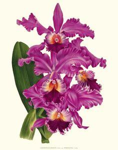 Cattleya labiata Orchid Reprodukcja 8x10 Drukuj
