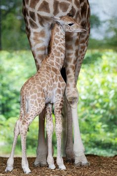 Male giraffe calf born at the © Dublin Zoo, posted via zooborns.com