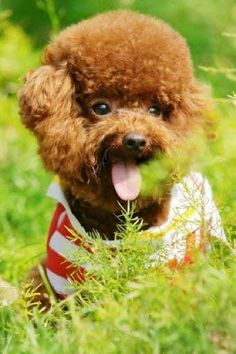 Share your cute teddy bear puppies Teddy Bear Puppies, Cute Teddy Bears, Dogs And Puppies, Cute Dogs Breeds, Dog Breeds, Puppy Pictures, Cute Pictures, All Things Cute, Animals