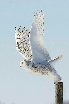 Snow owl ready to take off