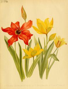 1-tulipa osterowskyana 2-t fragrans 3-t australis