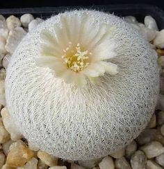 Resultado de imagem para Cactos floridos on pinterest
