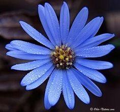 Aster, September birth flower